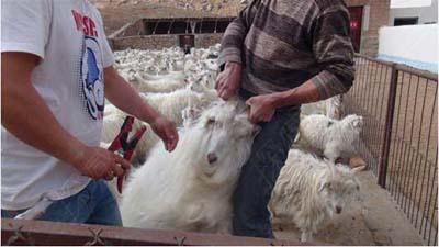 畜牧养殖管理(耳标安装现场图一)
