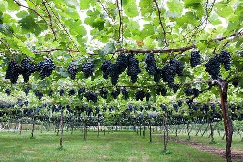 打造精准农业!以物联网、大数据酿造葡萄酒